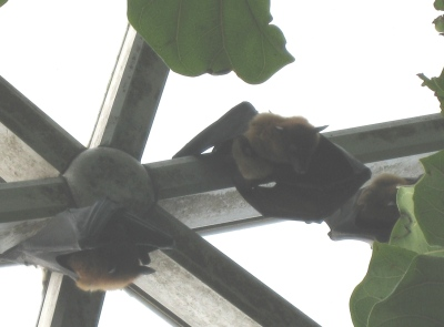 in-the-center-this-is-obviously-a-picture-of-baby-fruit-bat-and-a-mom-fruit-bat