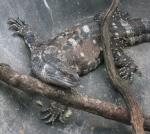 the lizard sticking his tongue out atkivirin2